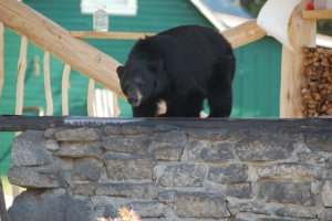 One of the Lodge's resident bears