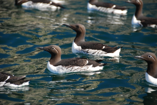 "As we came towards Bear Island - on our first excursion, we realized the islands were ""rich"" with birds - such as the guillemot."