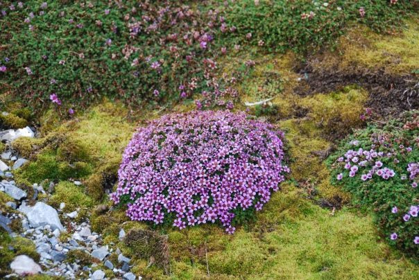 Purple saxifrage - an edible plant found in high areas of the Arctic. (Photo by Robyn Bushong.)
