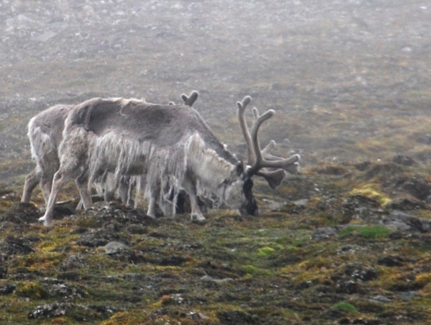 "As you can see, the Svalbard reindeer is short-legged and relatively small. But how exciting to get to see these marvelous creatures ""in person."" (Photo by Robyn Bushong.)"