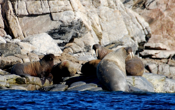 "This group of walrus (known as a ""herd""), enjoy the warm sunshine. Walrus are common in this Arctic region and reach weights in excess of 3,000 lbs. (Photo by Robyn Bushong.)"